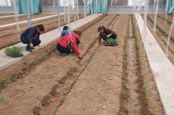 番茄定植前的准备