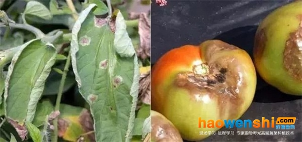 【番茄病害】番茄染病再也不用发愁了,对照25种番茄病害症状图谱,你马上知道病害类型和防治方法