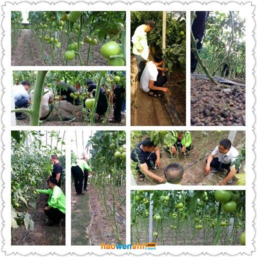 参观沙培西红柿温室