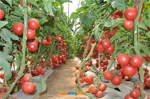 番茄要高产,合理施肥是关键!