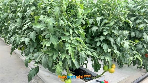 槽式基质培番茄